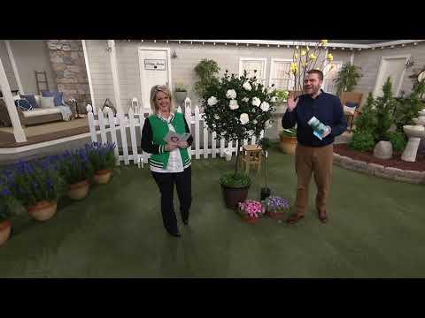 Cottage Farms Sunsation Tree Rose on QVC - смотреть онлайн