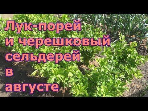 Выращивание лука-поря и черешкового сельдерея. Уход в августе. Подкормки, отбеливание, окучивание