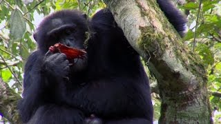 Chimpanzee Cannibalism - Planet Earth - BBC Earth...