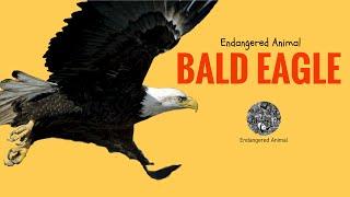 Endangered Animal Bald Eagle: Science and Education of Endangered Animal Bald Eagle