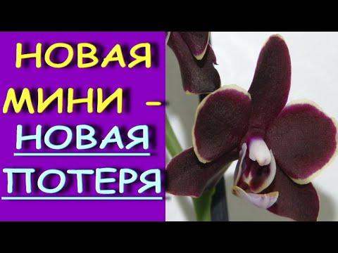 """ПОТЕРИ есть У ВСЕХ:орхидея из ЛЕРУА phal. Sogo Banana Chocolate """"F5194"""" - пересадка,ГНИЛЬ."""
