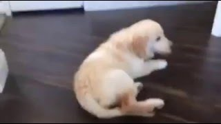 Puppy Falls  Down Stairs