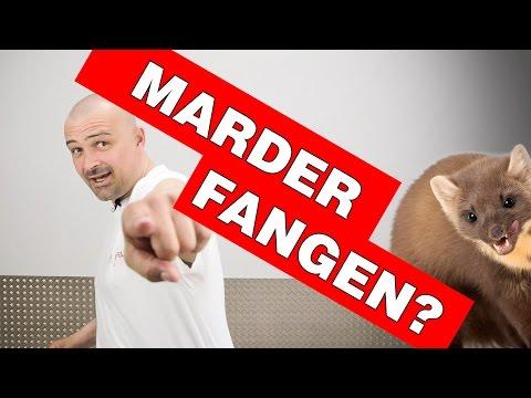 Marder Fangen | vom Marder-Profi erklärt: Risiken und Gefahren einer Marderfalle