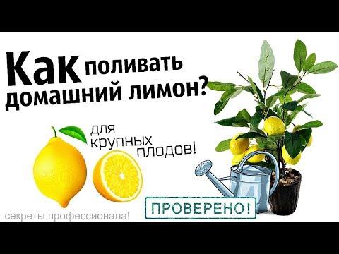 Как правильно поливать домашний лимон? Как часто поливать лимон +в домашних условиях?