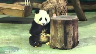20150108-圓仔日記 彪哥來了The Giant Panda Yuan Zai