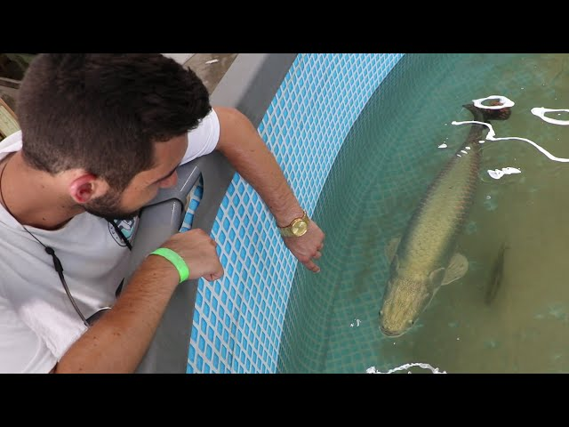 HUNGRY ARAPAIMA IS GETTING A NEW HOME