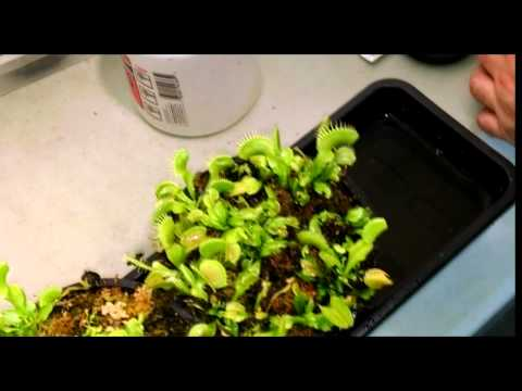 Video Venus Flytrap Feeding