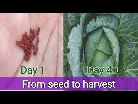 , title : 'How to grow cabbage from seed to harvest