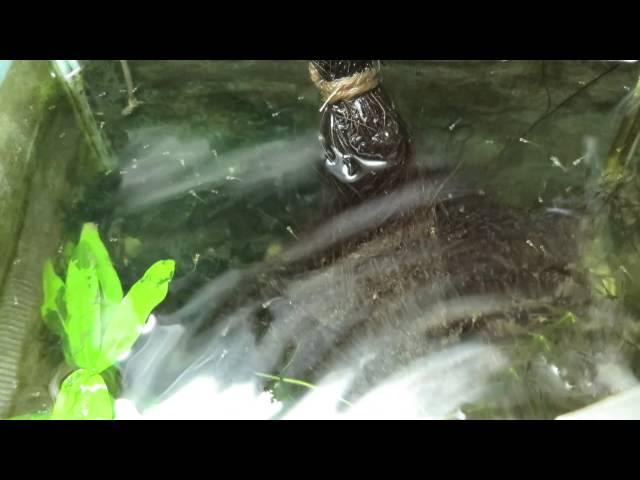 メダカの稚魚、針子
