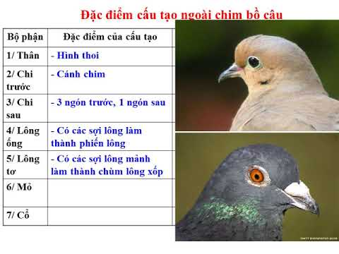 Bai 41 Chim Bo Cau
