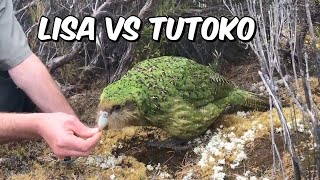 Lisa vs Tutoko at the kakapo feeder