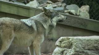 ShamuTV: Wolves - The Facts About Wolves HD