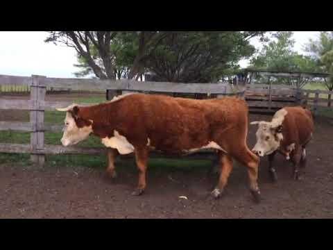 Afiche 38 Vacas de Invernada  - 360kg - Artigas