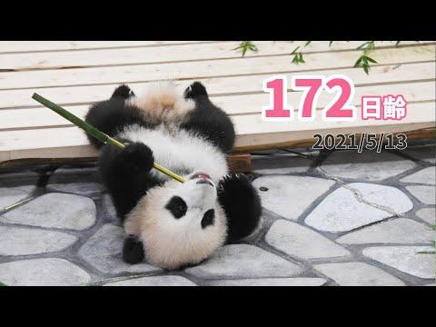 【パンダの赤ちゃん(楓浜)】寝ころんで食べる練習中...?(172日齢)