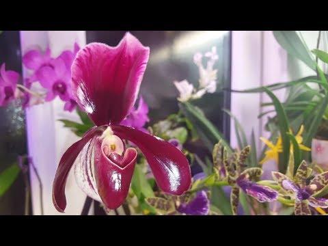 Пафиопедилум Memoria Bob Holm  и другие цветущие орхидеи к Новому году!
