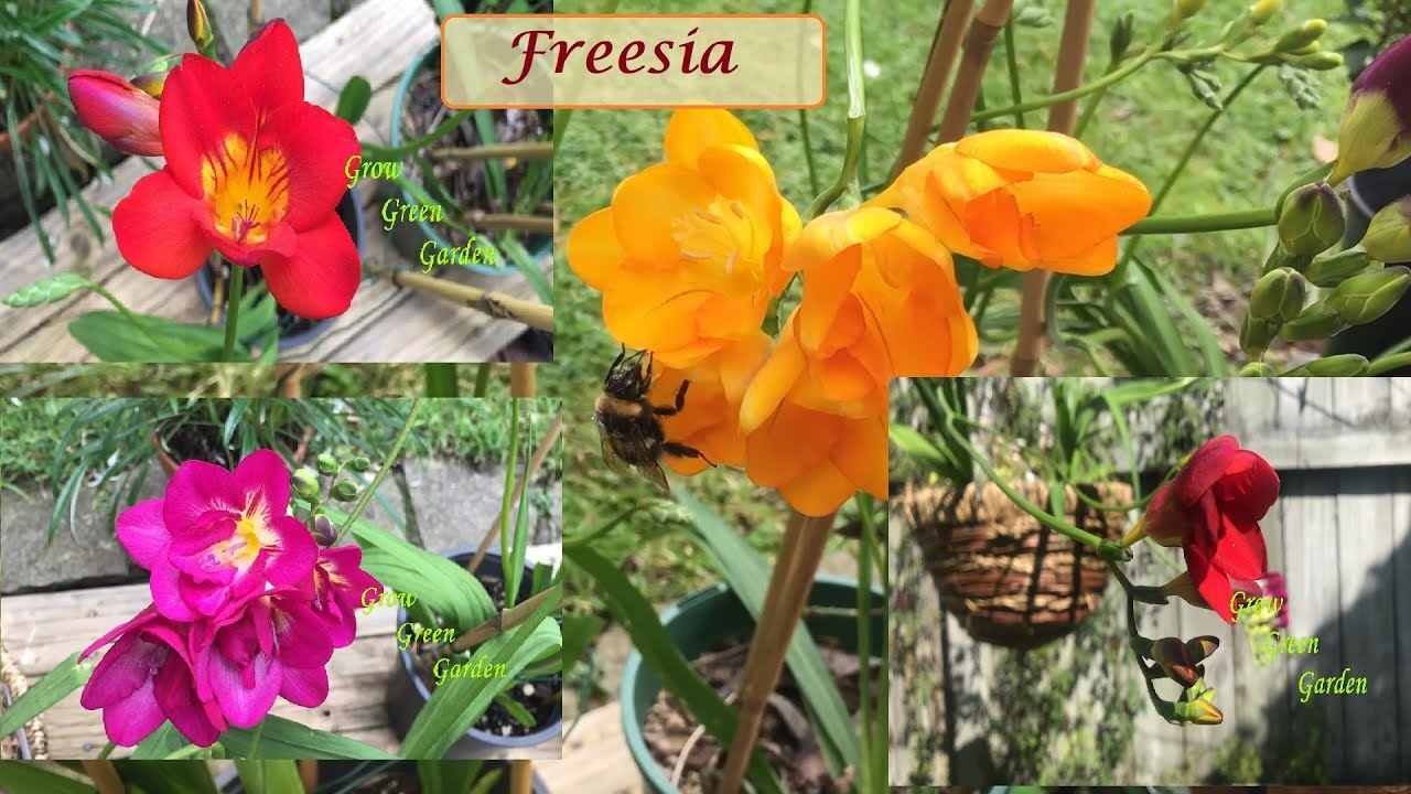 Freesia from bud to flower