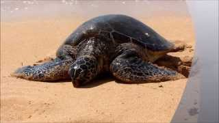 preview picture of video 'Swim with Turtles on Oahu in Hawaii'