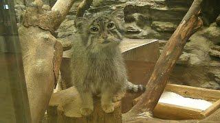じっと見つめてくるマヌルネコ「ユス」Pallas's Cat Stare At Here
