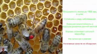Порода пчел и ее значение
