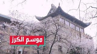 موسم زهر الكرز في وسط الصين