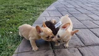 Female AKC French Bulldog Lola