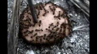 Solenopsis geminata (ants) on a hot dog section -  the long version