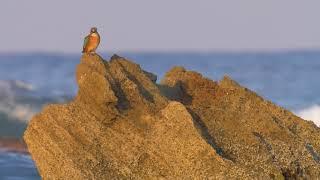Shore Birds on the Med coast חופמאים בחוף קיסריה