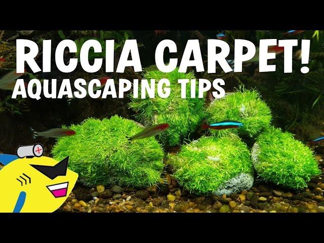 AQUASCAPING TIPS - RICCIA CARPET - MOSS ATTACHMENT