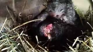 Pig ВАЛЕРА  маленький.Ужас... Гуска ущипнула  Karinu.