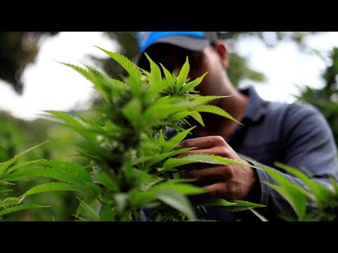 العرب اليوم - شاهد: مزارع الماريجوانا المحرمة في باراغواي