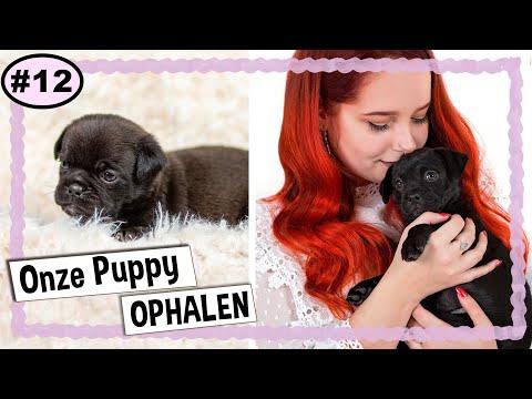 ONZE PUPPY OPHALEN !! 🐶   MOPSHOND KRUISING / RETROMOPS PUPPY   VLOG #12