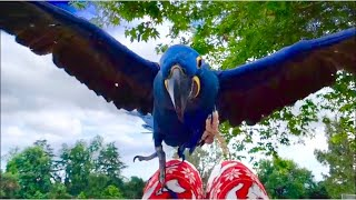Love, my hyacinth Macaw flying (rare and amazing slow motion video that will make you happy)