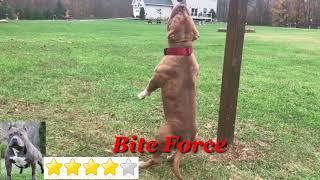 American Bully VS Pitbull Fight 2019 Matchup