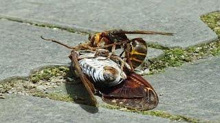 セミの反撃Sparrowbeecaughtacicadaスズメバチがアブラゼミを捕獲「セミは羽ばたきハチがひっくり返るセミは逃げられたのか?」