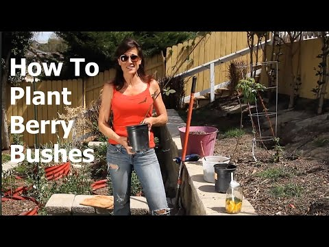 , title : 'How to Plant Berry Bushes