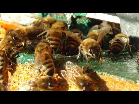 Невероятные облёты пчелы в канун Нового Года!!!