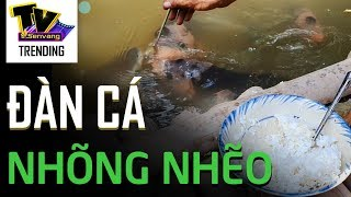 Đàn cá tai tượng sang chảnh đút cơm bằng muỗng mới chịu ăn