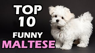 TOP 10 FUNNY MALTESE VIDEOS COMPILATION