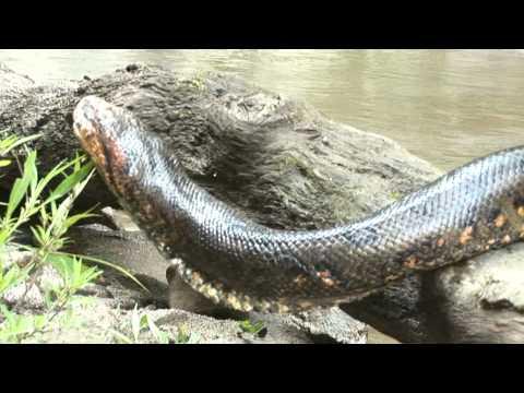 Reshinn, sangre de anaconda