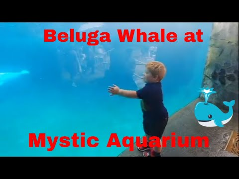 Mystic Aquarum Trip! Sea Lion Show, Beluga Whales, and Dinosaurs