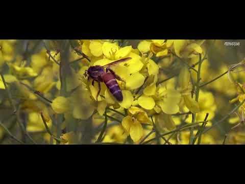 , title : 'Honey bee | mustard fields
