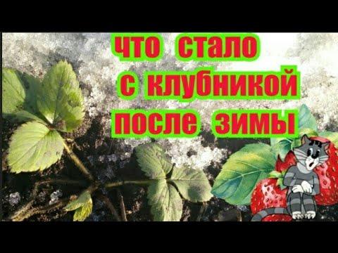 Клубника После Зимовки !!! Что стало с Клубникой после Морозов !!! Весенние работы с Клубникой !!!