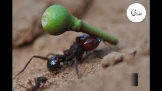 Formigas podem ser polinizadoras?
