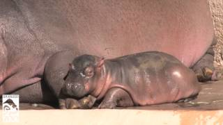 Sleepy Baby Hippo Finds Perfect Pillow