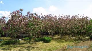 rózsaszín akác virágzás