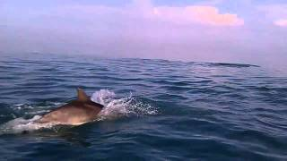 preview picture of video 'Dolphin Watching - East Coast of Jersey 21/04/11 (2/2)'