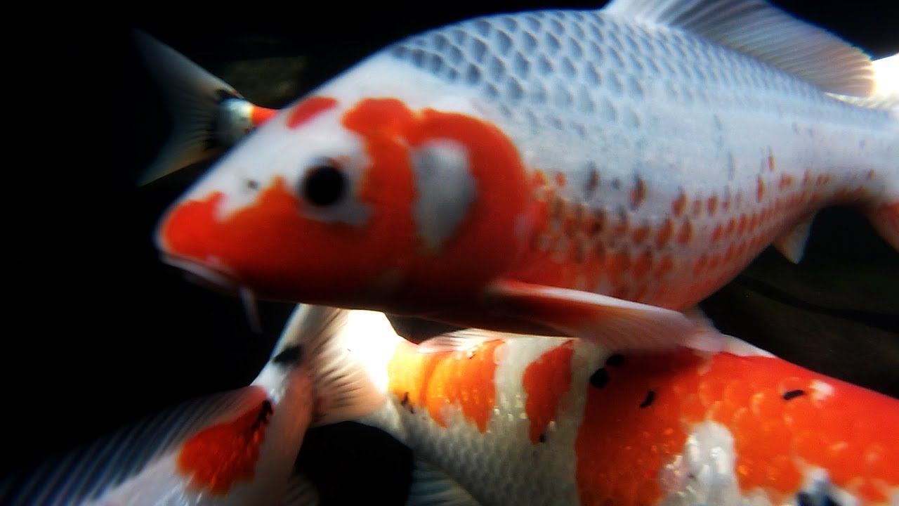 Mystic koi for Rare koi fish