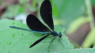 Ebony Jewelwing Damselflies