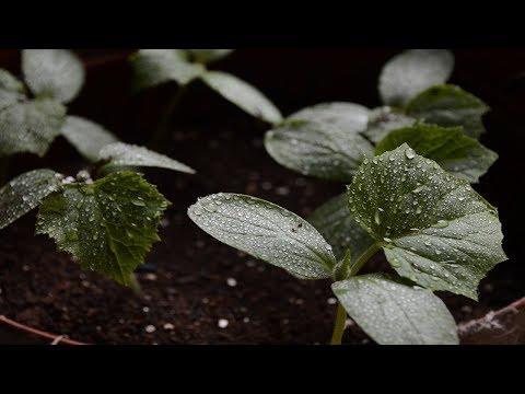 Огурцы.  Когда сажать семена огурцов на рассаду?