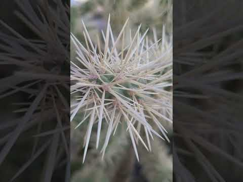 watch out for the cholla